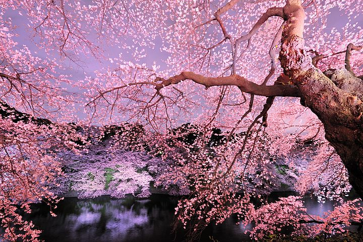 Come fiori di ciliegio for Fiori di ciliegio dipinti