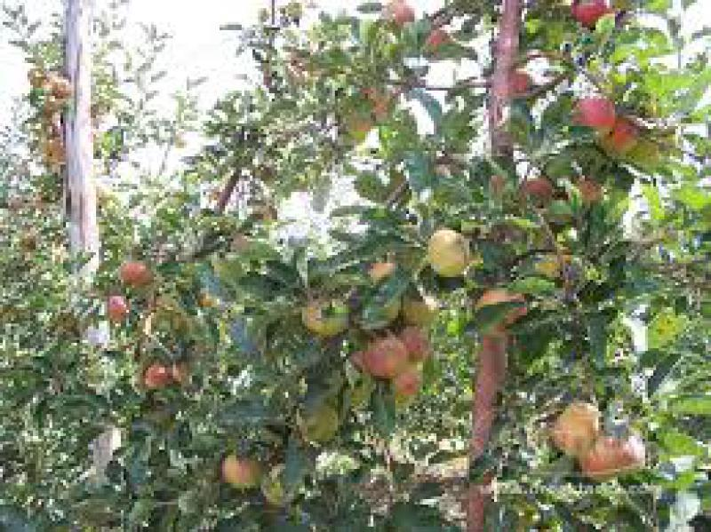 Mitologia cristiana for Potatura del melo
